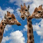 Fotografia de três girafas em interacção